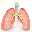 Lungs 3-D Model Making Kit