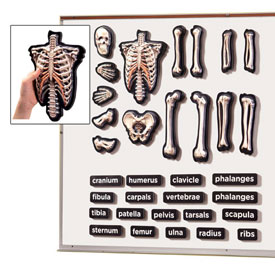 Hands-On 3D Magnets Skeletal System